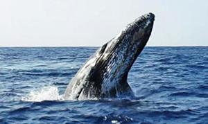 Hawaii/Maui: Aloha Hawaii Pacific Whale Festival